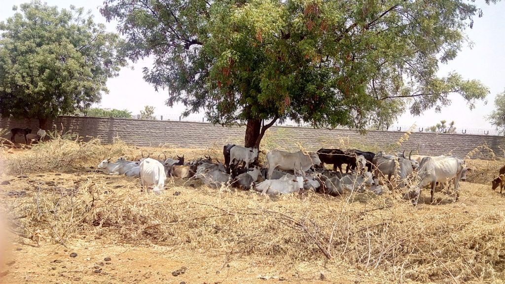 Cattle find shade at the goshala within the BARC compound. Credit: Gaurav Mendiratta