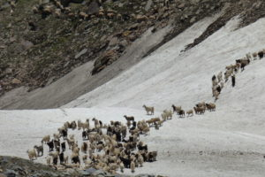 Livestock crossing an ice bridge in the Spiti Valley. Credit: Janaki Lenin