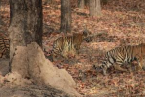 The Churna tigress as cub with mother and a male cub before being orphaned, 2010. Source: Muffi/Sarath C.R. Blog