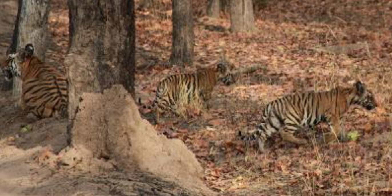 The Story of How the Orphaned Tigress of Bandhavgarh Was Rehabilitated