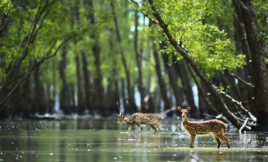 Sunderbans: the labyrinthine mangrove forests support a complicated and biodiverse ecosystem and has been a world heritage site since 1997. Credit: Wikimedia Commons