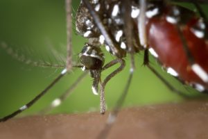 An Asian tiger mosquito. Credit: CDC/Wikimedia Commons