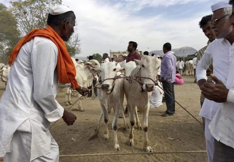How the Modi Government Is Killing India's Livestock Economy