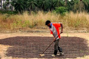 A farmer in Angola dries coffee beans in a field after the harvest. Credit: Public Domain