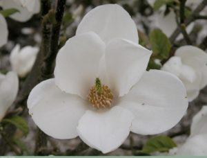 Magnolia Kobus Janaki Ammal. Source: The Ladies Finger