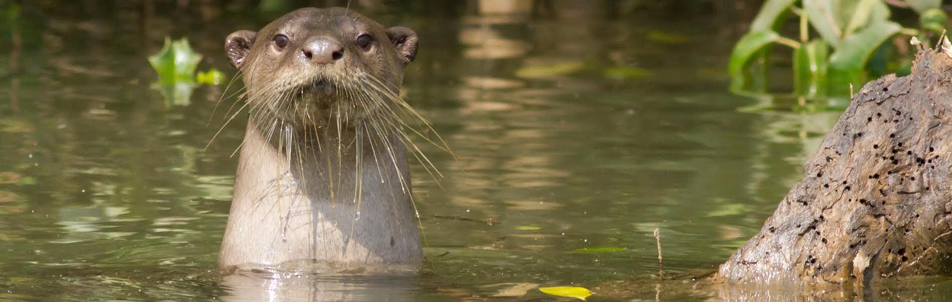 Why the Otters Left Goa – and Are Coming Back Now