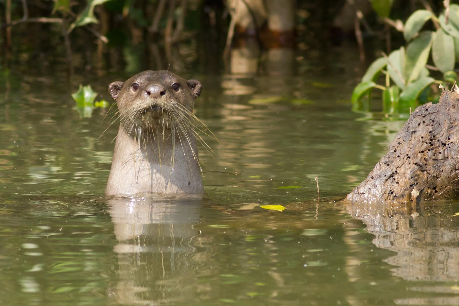 The presence of otters signals that a riverine ecosystem is healthy. Credit: WildOtters
