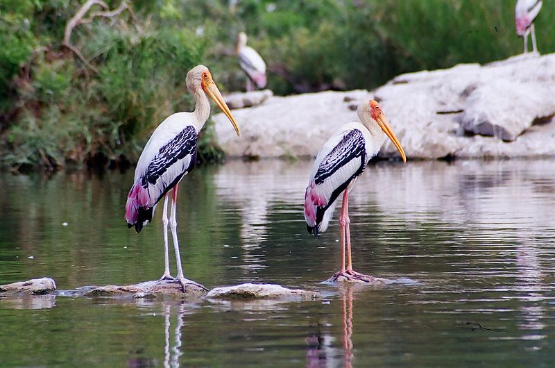 Twenty-Four Painted Storks Fall Prey to Suspected Bird Flu At Gwalior Zoo