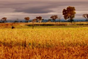 Growing wheat. Credit: Nupur Das Gupta/Flickr CC BY 2.0