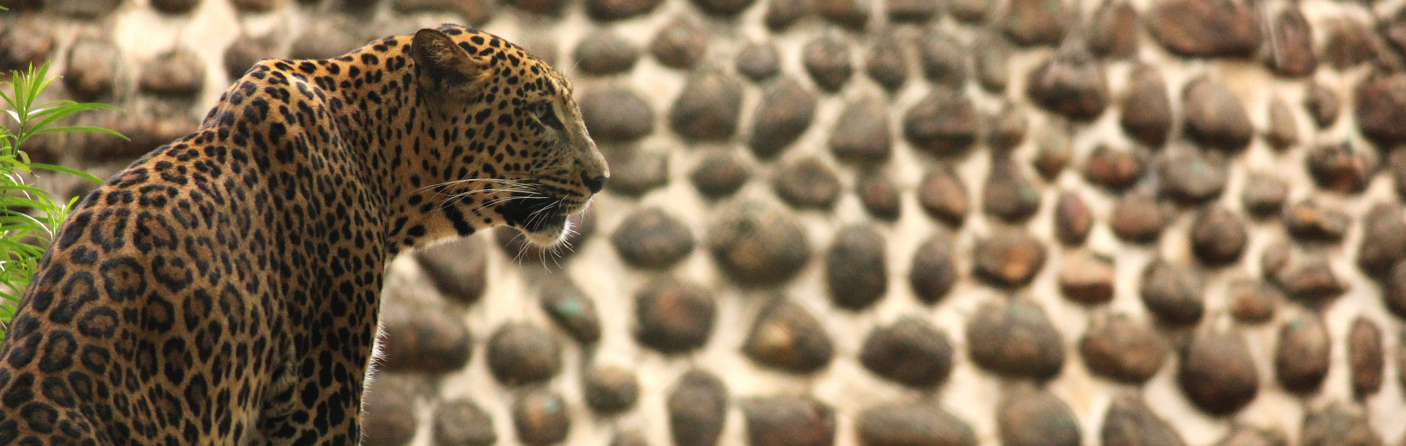 Delhi Tries To Catch Its Leopard Even As the Law and Best Practice Forbid