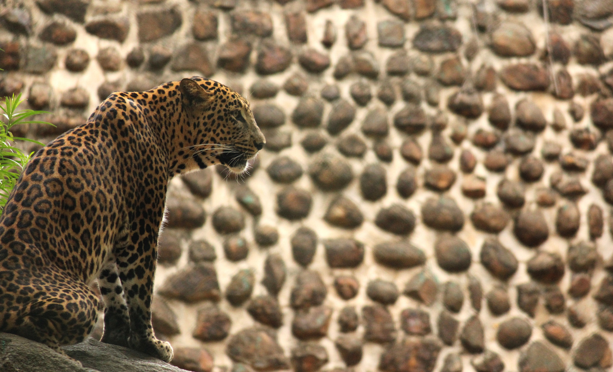 A leopard photographed at a zoo in Karnataka. Credit: sridharan01/Flickr, CC BY 2.0