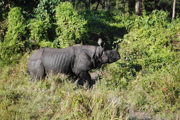 Rhinos to be Relocated to Two New Sites in West Bengal