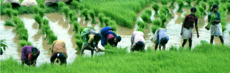 Study Shows Rice Farming in India Much Older Than Thought