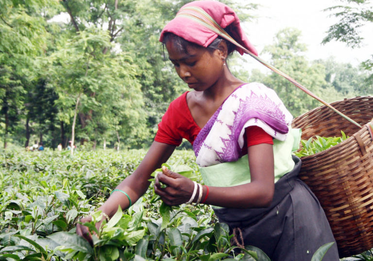 A labourer plucking tea leaves in Amluckee Tea Estate in Amoni in Nagaon district. Credit: Diganta Talukdar/Flickr CC BY 2.0
