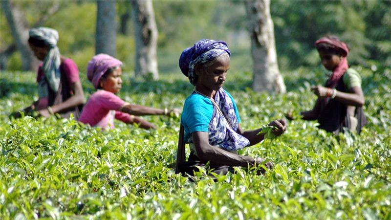 Tea garden workers in Assam. Credit: Reuters