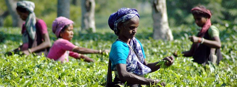 As Tea Gardens Worry About Wages Post Note Ban, Centre Mandates Bank Accounts for Labourers