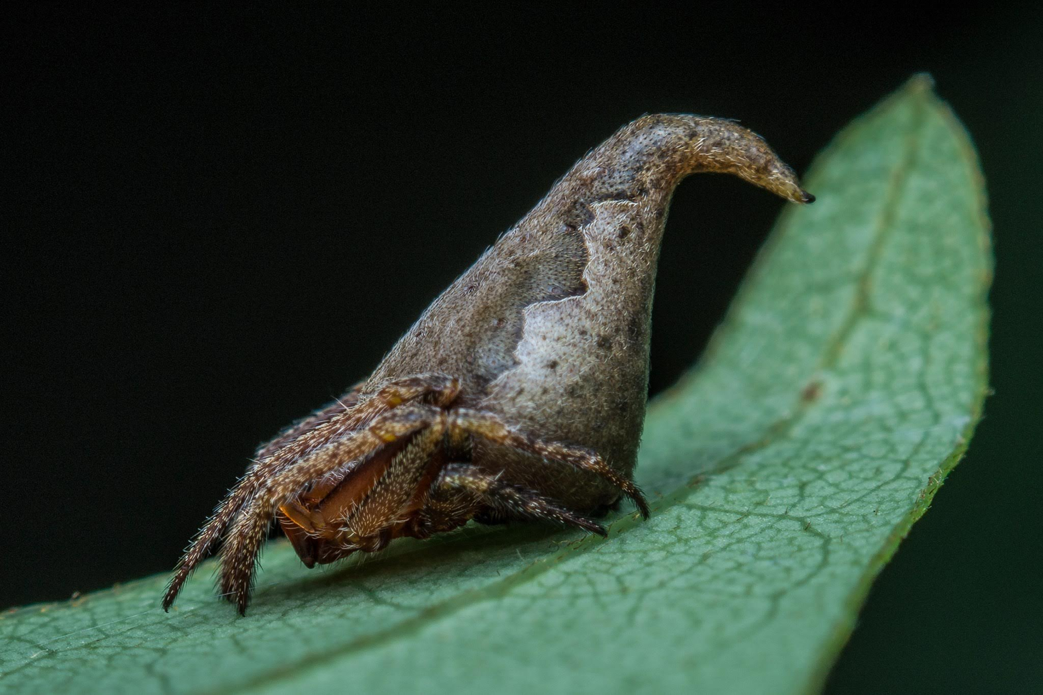 The Eriovixia gryffindori (the Sorting Hat spider). Credit: Sumukha JN