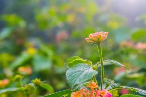 Lantana camara, an invasive species, in Kilakottai, Tamil Nadu. Credit: kumaravel/Flickr, CC BY 2.0