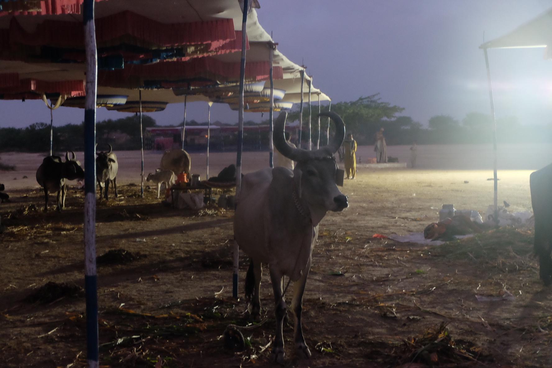 The Banni <em>pashu mela</em>. Credit: Gaurav Madan