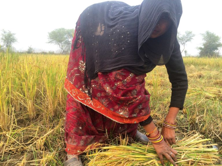 Rice harvest: A woman helps her family, who are hired as farm hands, harvest the rice crop in a village in Banda district of Uttar Pradesh. The family said the yield this year was not good despite the rains. Credit: Hina Fathima