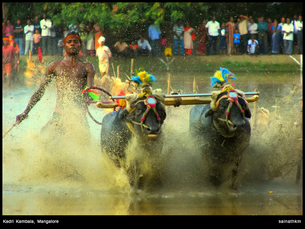 In Karnataka's Traditional Buffalo Race, Caste is Never Far Behind