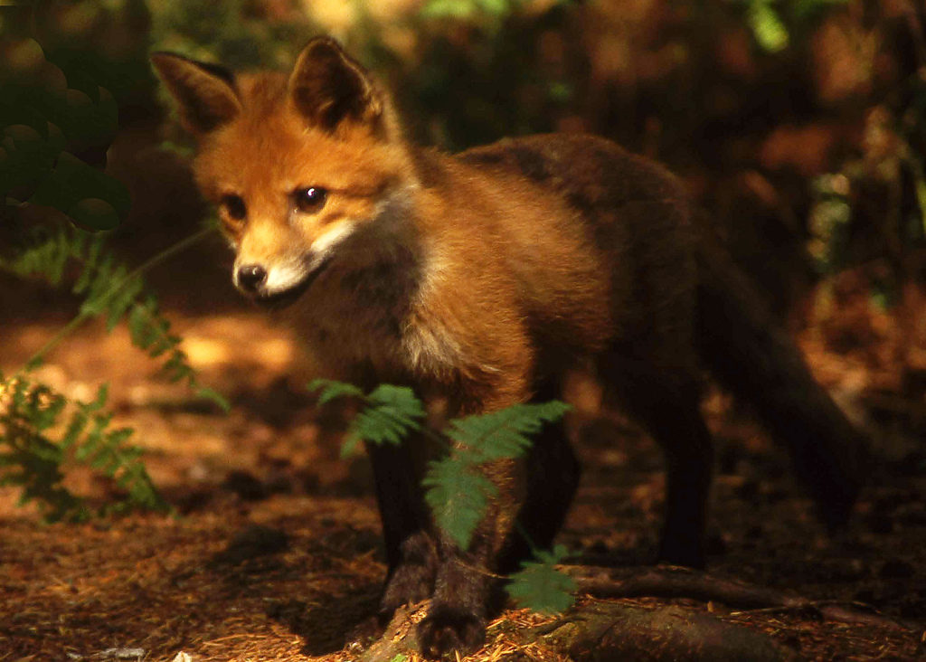 A fox. Credit: Richard Towell/Flickr, CC BY-NC-ND 2.0
