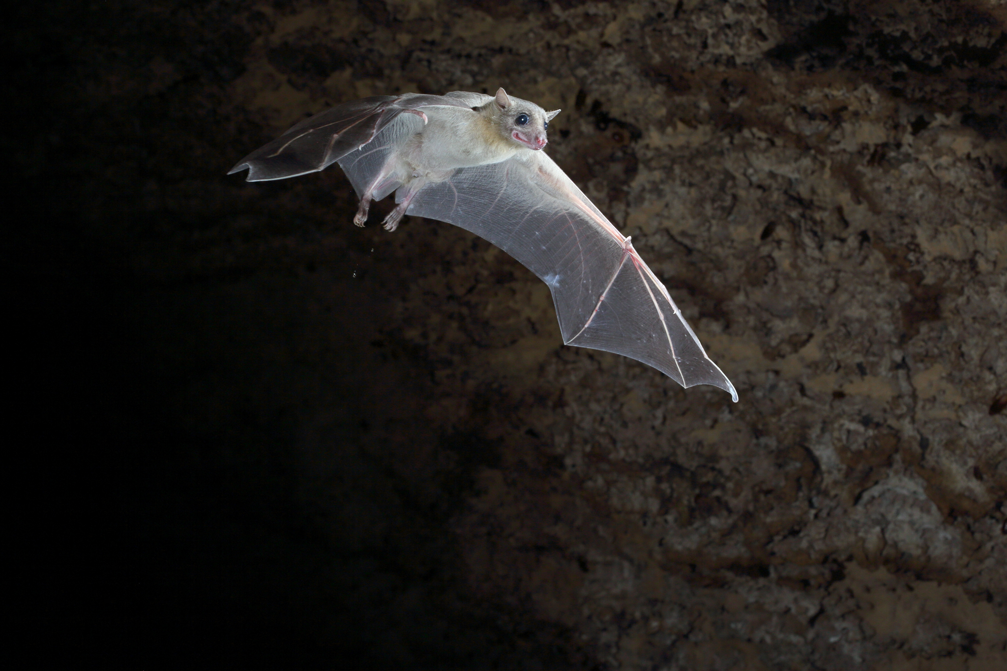 Egyptian fruit bats are unusual among fruit bats for roosting in caves during the day. Other species roost on trees. Credit: Jens Rydell