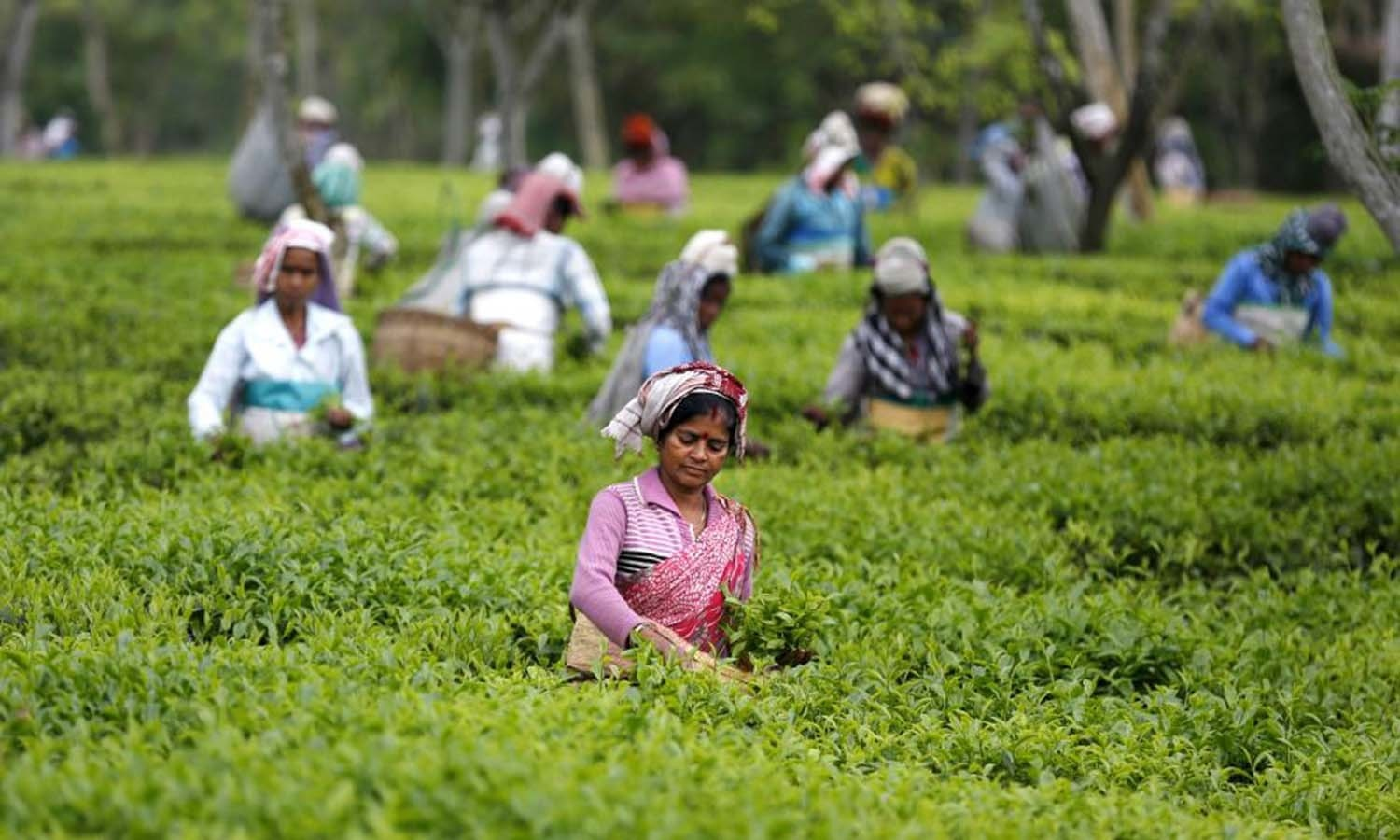 Tea garden workers pluck tea leaves inside Aideobarie Tea Estate in Jorhat in Assam. Credit: Reuters