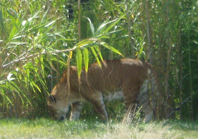 A tigon. Credit: Wikimedia Commons