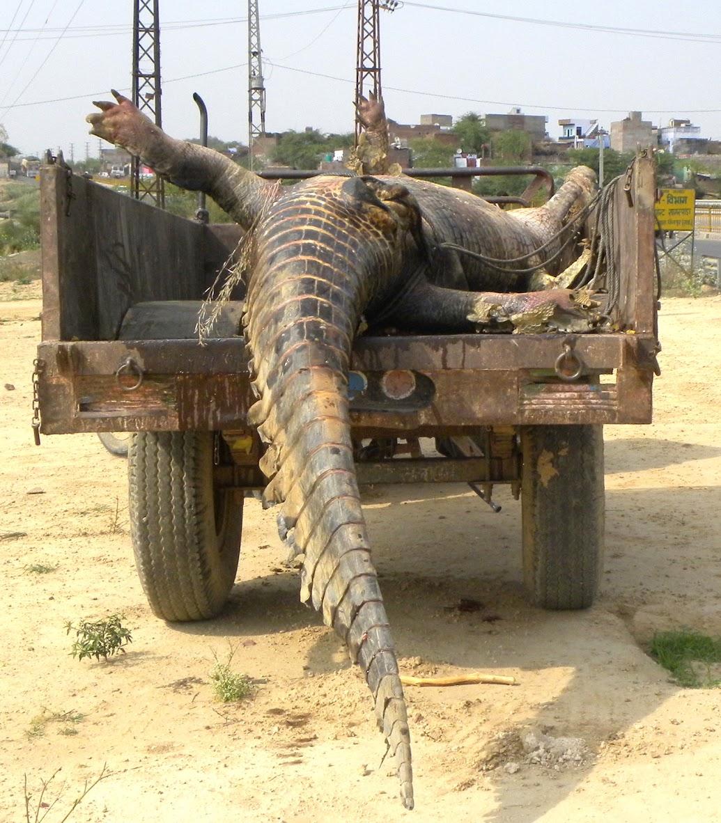 A drowned gharial. Credit: Rajeev Tomar