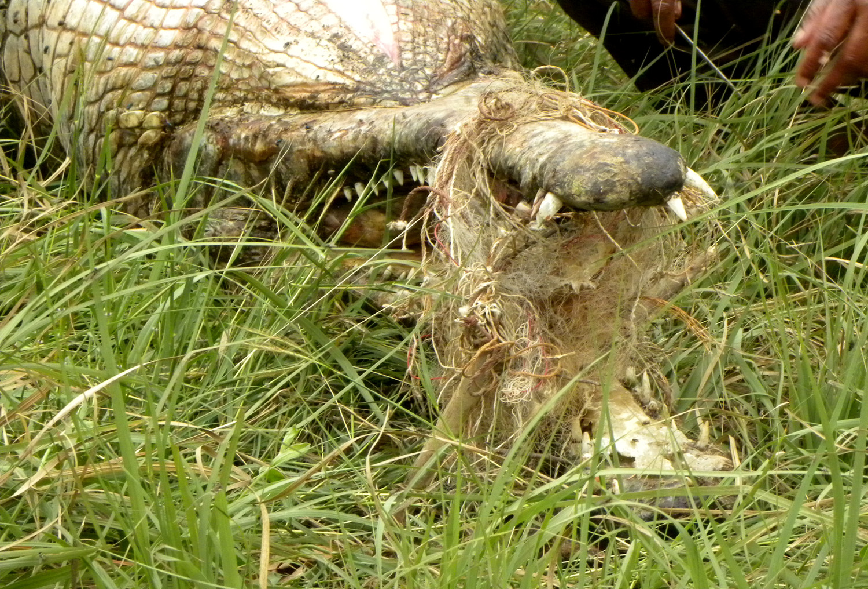The body of a drowned gharial. Credit: Rajeev Tomar