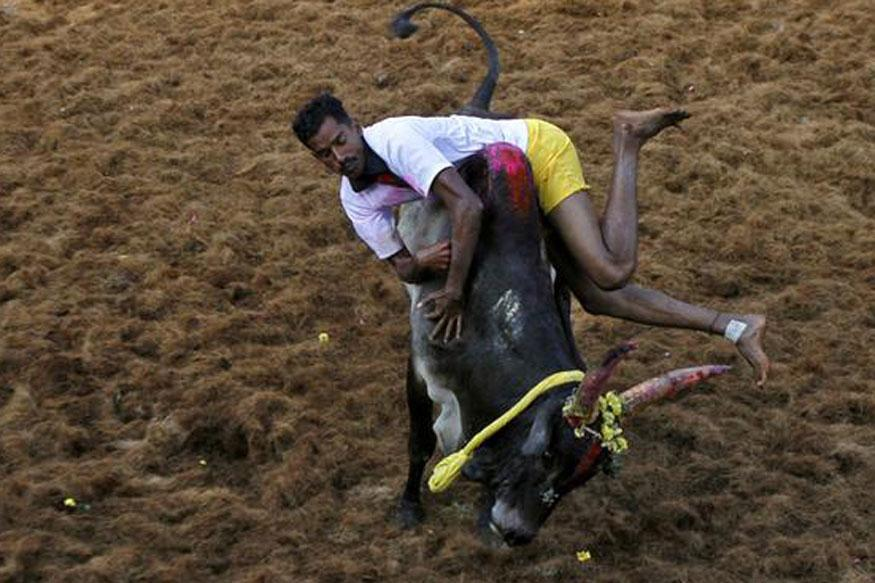 Supreme Court Refuses Stay on Tamil Nadu Law Permitting Jallikattu