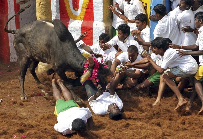 The Supreme Court has rejected a plea for delivering judgement on Jallikattu. Credit: Reuters/Files