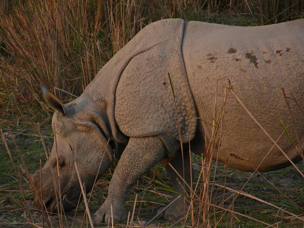 A one-horned rhino grazes in Kaziranga National Park. Habituated to tourists and park rangers, the rhinos make easy prey for poachers. Credit: Satish Krishnamurthy/Flickr CC BY-SA 2.0