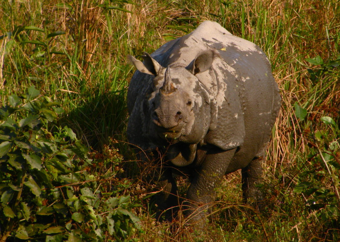 Despite the challenges facing rhinos in Kaziranga National Park, experts are optimistic about the species' future. Credit: Satish Krishnamurthy/Flickr CC BY-SA 2.0