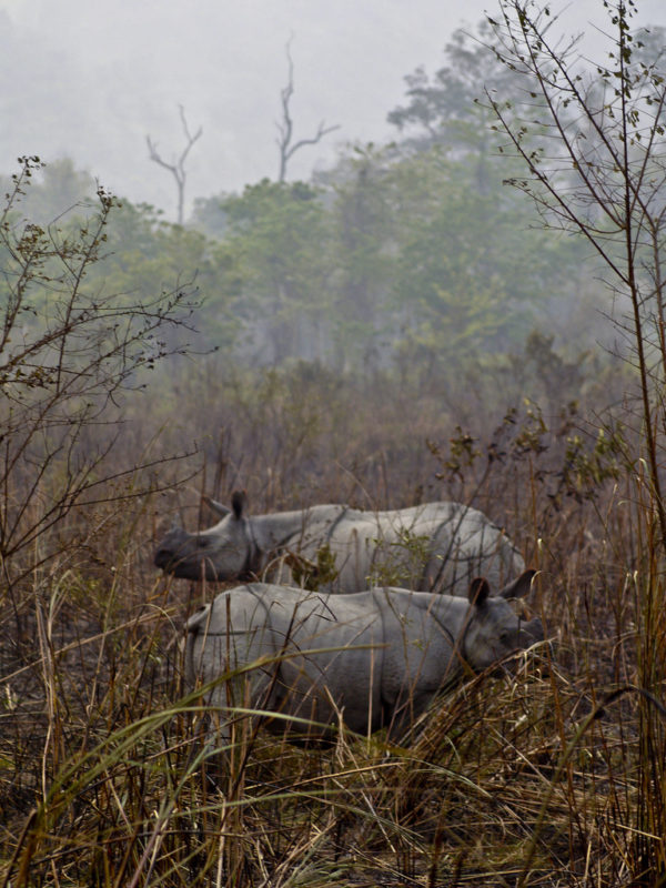 A pair of greater one-horned rhinoceros in Kaziranga National Park, where the species enjoys the highest population density in the world. Credit: Subharnab Majumdar/Flickr CC BY-SA 2.0