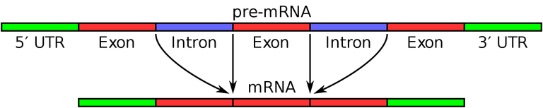 A schematic explaining splicing – to put it simplistically, the mRNA's useful parts (exons) join together and the useless ones (introns) are subtracted. In the case of Rachel's discovery, the 5`UTR region of the chr1 mRNA was shown to come from the chrY mRNA. Courtesy: The Life of Science