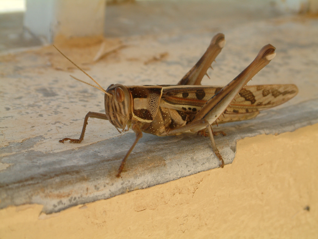 """""""Would you like it with fries?"""" Above: a locust. Credit: topgold/Flickr, CC BY 2.0"""