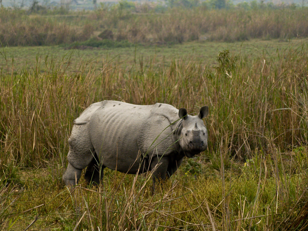 A rhinoceros at Kaziranga national park, Assam. Credit: subharnab/Flickr, CC BY 2.0