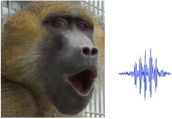 A baboon vocalising. Credit: Joel Fagot