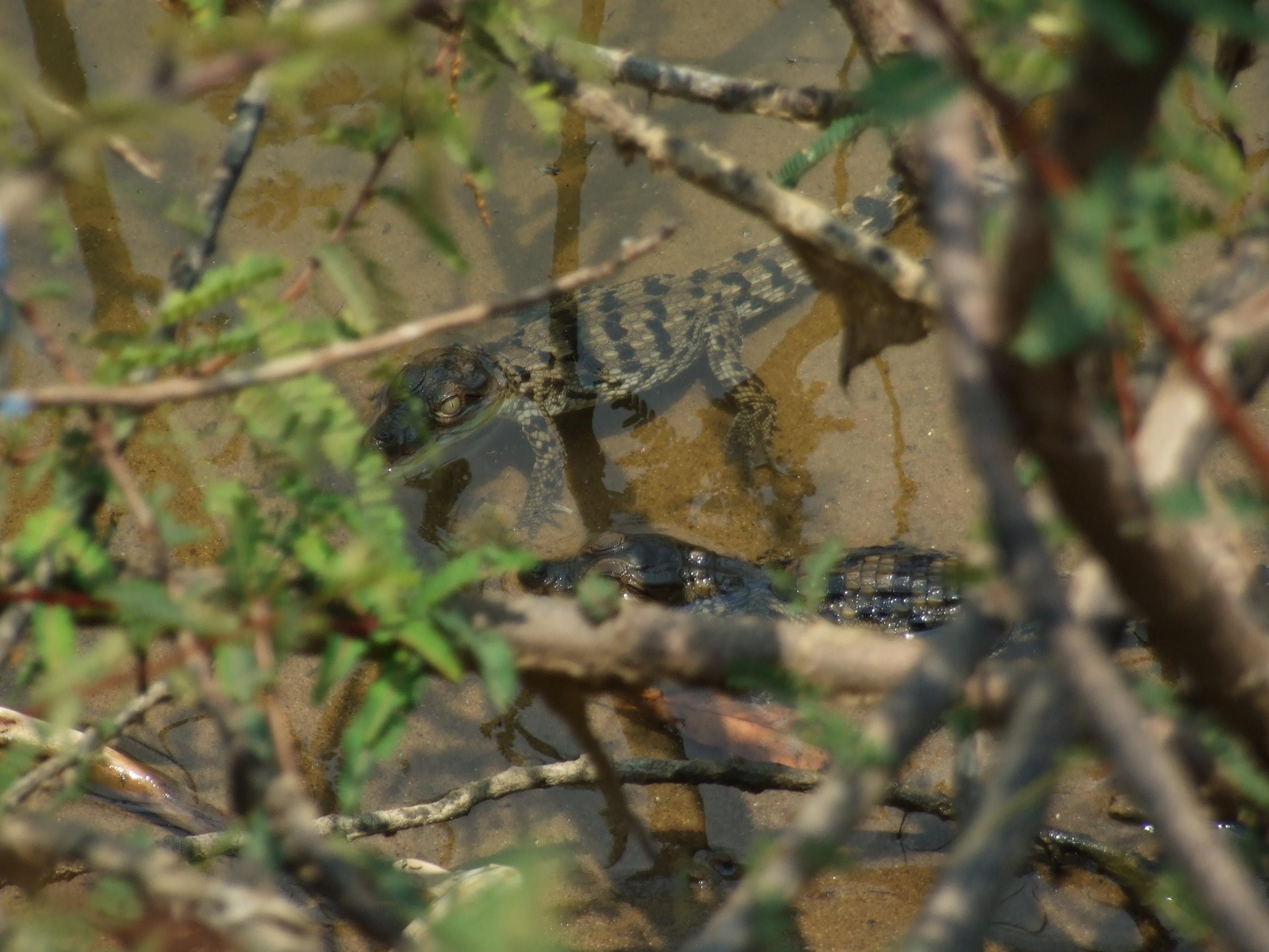 Mugger crocodile hatchlings prefer the cover of riverside vegetation in addition to a protective mother. Credit: Nisarg Prakash