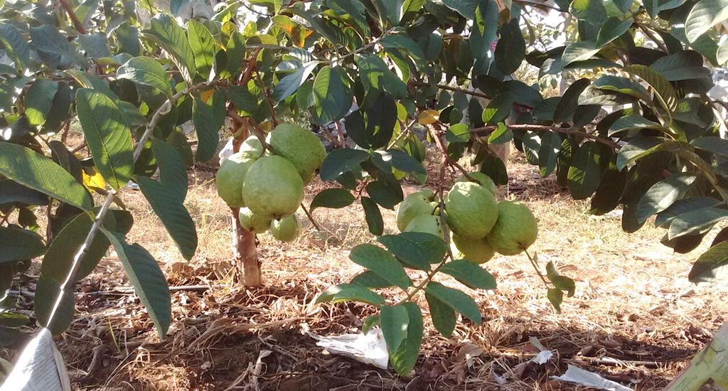 The VNR-Bihi hanging low in an orchard in Narsapur village of Medak district in Telengana. Credit: Veera Prasad