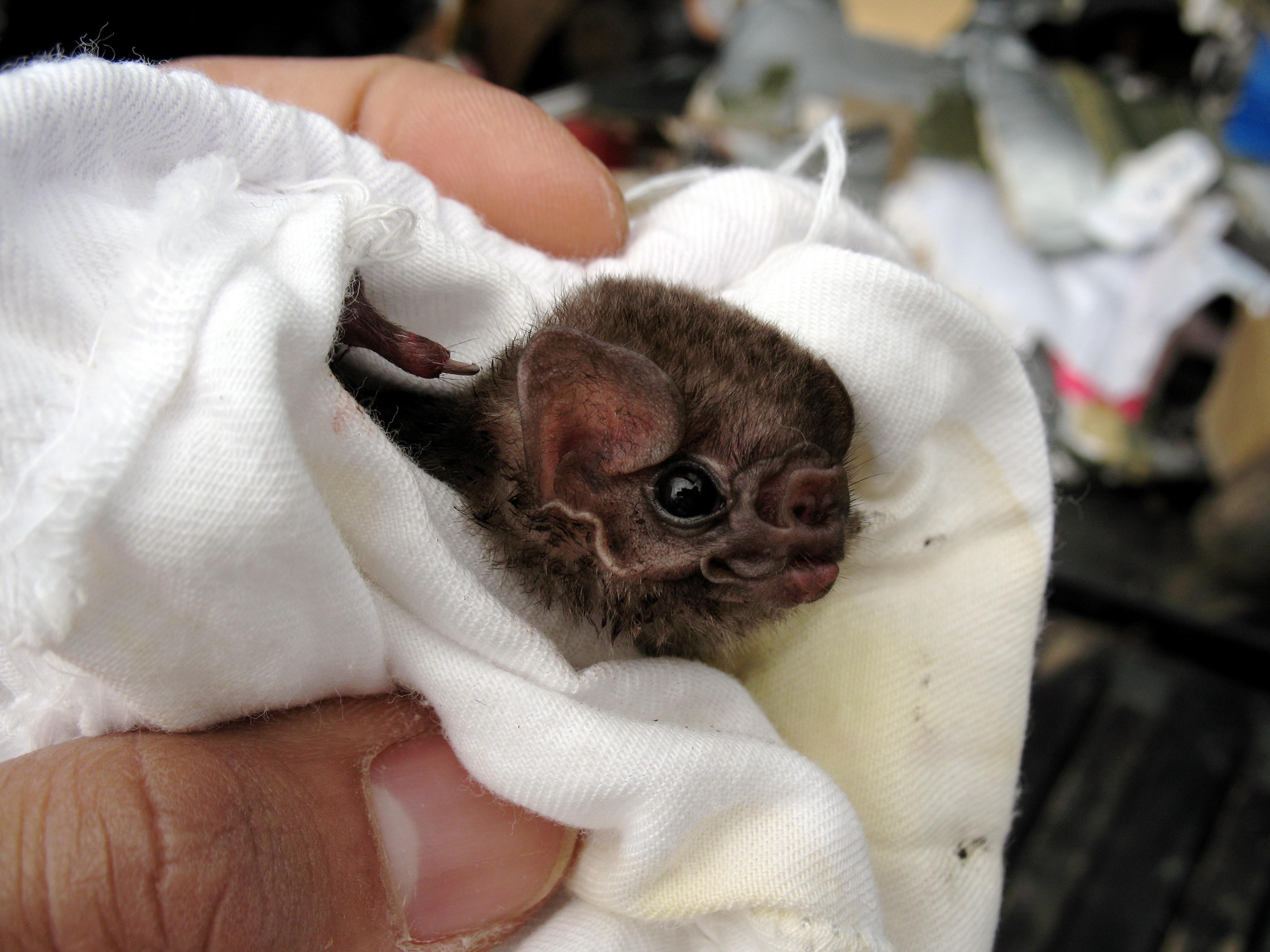 Hairy-legged vampire bat. Credit: Wikimedia Commons