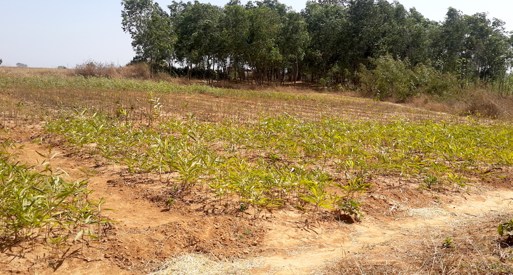 A nursery adjacent to the Hesatu forest from which villagers expect to sell saplings. Credit: Chhandosree