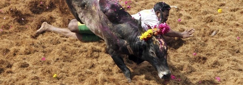 File photo of a Jallikattu game. Credit: Babu/Reuters