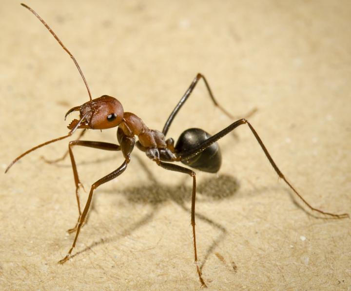 A forager ant of the species Cataglyphis velox. Seville, Spain. Credit: Michael Mangan and & Hugh Pastoll