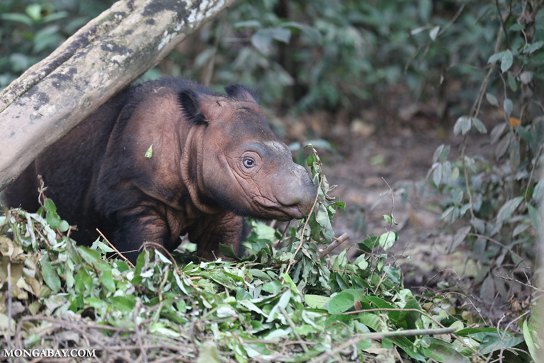 A baby Sumatran rhino at Indonesia's Sumatran Rhino Sanctuary. Fewer than 100 of the species are known to survive. credit: Rhett Butler, Mongabay.