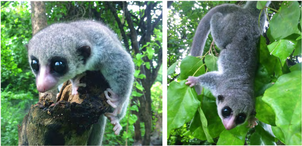 New Species of Dwarf Lemur Discovered