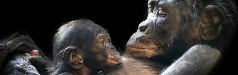 A Gorilla Shot and Killed Before My Eyes: A Primatologist's Plea to Save Great Apes