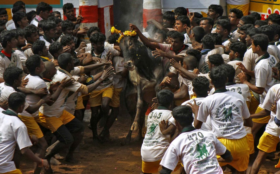 Jallikattu. Credit: Reuters/Files